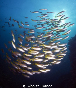 Scool of yellowtail fish. by Alberto Romeo 